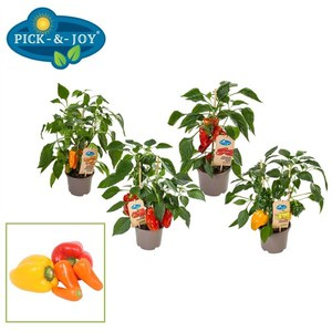 Capsicum 'Pick and Joy'  Pot 14 cm h45 cm