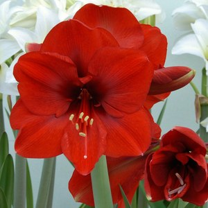 Planter des bulbes d 39 automne schilliger for Planter bulbe amaryllis
