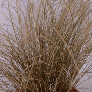 Schilliger Production  Carex comans 'Bronze Form'  12 cm