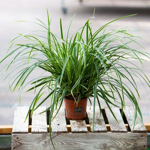 Schilliger Production  Carex morrowii 'Ice Dance'  12  cm
