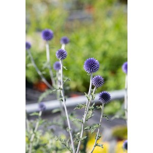 Schilliger Production  Echinops ritro 'Veitch Blue'  15cm