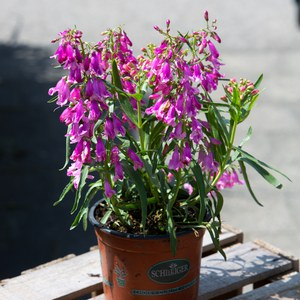 Schilliger Production  Penstemon barbatus 'Praecox Nanus Rondo'  15 cm