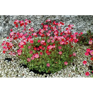 Schilliger Production  Saxifraga arendsii 'Highlander' Rose  Pot 12  cm