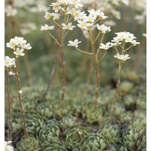 Schilliger Production  Saxifraga paniculata  12 cm