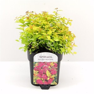 Schilliger Production  Spiraea japonica 'Golden princess'  C5 15/20