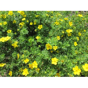 Schilliger Production  Potentilla fruticosa 'Goldfinger'  C5 30/40