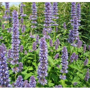 Schilliger Production  Agastache 'Blue Fortune'  15 cm