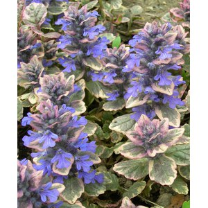 Schilliger Production  Ajuga reptans 'Burgundy Glow'  13  cm