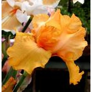 Schilliger Production  Iris germanica 'Marcel Turbat'  15 cm