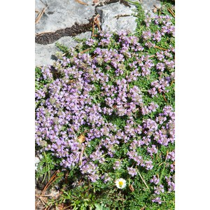 Thymus serpyllum 'Magic Carpet'  12  cm