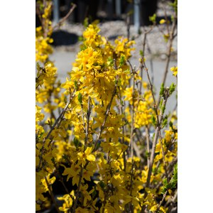 Schilliger Production  Forsythia x intermedia 'Goldrausch'  C9 70/80