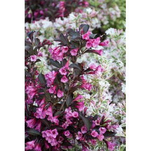 Schilliger Production  Weigela florida 'Minor Black'  C9 50/60