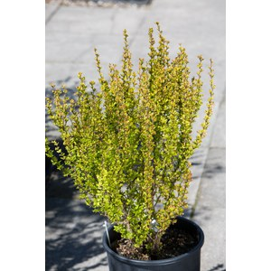 Berberis thunbergii 'Golden Rocket'  C9 50/60
