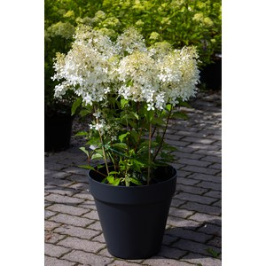 Schilliger Production  Hydrangea paniculata 'Phantom'  C10 40/50