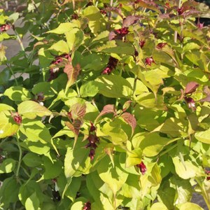 Schilliger Production  Leycesteria formosa 'Golden Lanterns'  C9 hauteur 60/80 cm