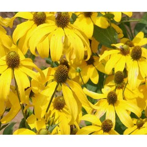 Schilliger Production  Rudbeckia nitida 'Herbstsonne'  24 cm
