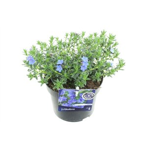 Lithodora diffusa  Buisson 14