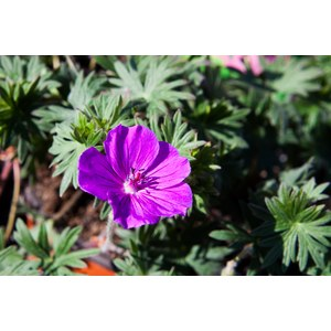 Schilliger Production  Geranium 'Tiny Monster'  15 cm