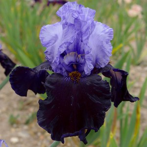 Schilliger Production  Iris germanica 'Dangerous Mood'  15 cm