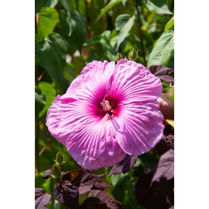 Hibiscus moscheutos 'Royal Gem'  Pot de 24 cm