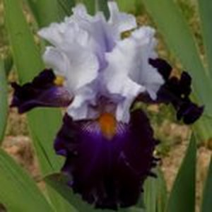 Schilliger Production  Iris germanica 'Piste Noire'  15 cm