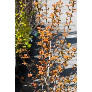Schilliger Production  Physocarpus opulifolius 'Amber Jubilée'©  C9 50/-