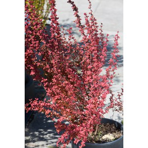 Berberis thunbergii 'Orange Racket'  C3.5l