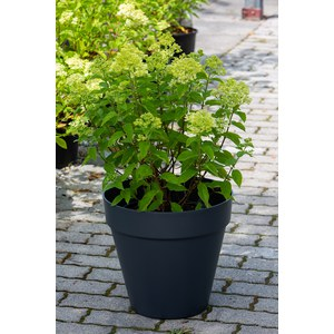 Schilliger Production  Hydrangea paniculata 'Little Lime'®  Nvelle culture