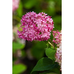 Schilliger Production  Hydrangea arborescens 'Invincibelle'  C9