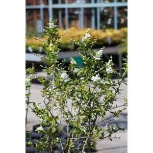 Exochorda serratifolia 'Snow White'  C15 King-Size