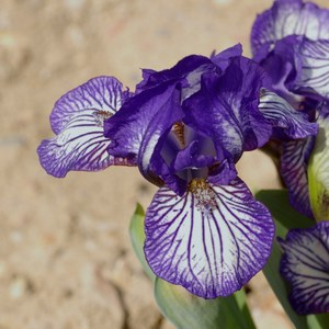 Schilliger Production  Iris germanica 'Dinky Circus'  15 cm