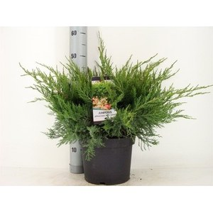Juniperus x Pfitzeriana 'Mint Julep'  Pot 23 cm  / h50 cm