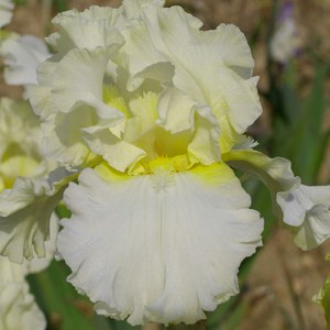 Schilliger Production  Iris germanica 'Devonshire Cream'  P15