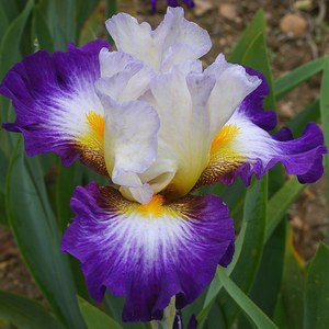 Schilliger Production  Iris germanica 'Irisades'  P15