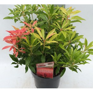 Pieris 'Forest Flame'  C10 50/60