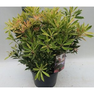 Pieris 'Flaming Silver'  C10 50/60