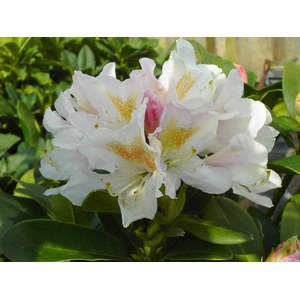 Rhododendron 'Cunningham's White'  C15 60/+