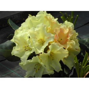 Rhododendron 'Horizon Monarch'  60+