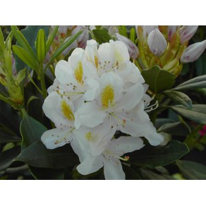 Rhododendron 'Madame Masson'  60+