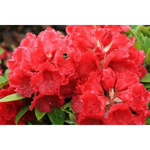 Rhododendron 'Red Jack'  C15 60/+
