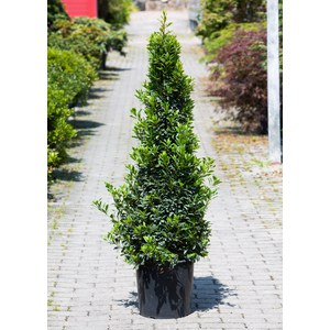 Laurus nobilis 'Baby Junior'  Pot 34 h140 pyramide
