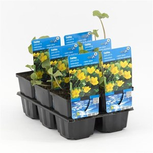 Caltha palustris  Pot 9 cm h.20
