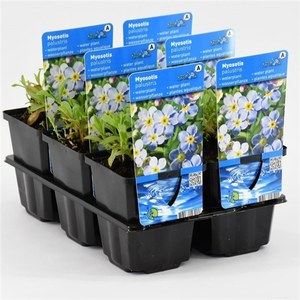 Myosotis palustris  Pot 9 cm h.20