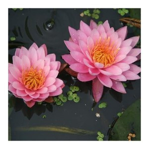 Nymphaea american 'Star Red'  Pot 11 cm h.30