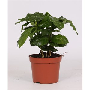 Coffea arabica  Pot 12 cm h27