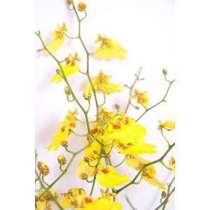 Oncidium  Pot 12 cm, 2-3 branches