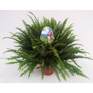 Nephrolepis exaltata 'Green Lady'  Pot 17 cm, h.45 cm