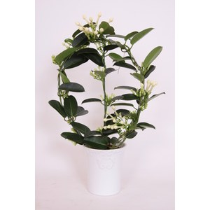 Stephanotis floribunda  Pot 12 cm
