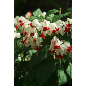 Clerodendrum thomsoniae  Pot 13 cm