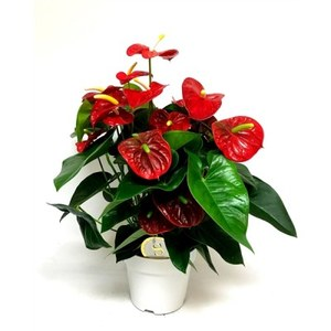 Anthurium  Pot 14 cm
